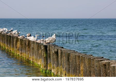 Several seagulls sit on breakwater. It can be seen on the Baltic Sea shore in Kolobrzeg in Poland