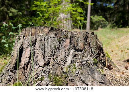 Stump of the trunk after felled old tree can be seen on the forest floor