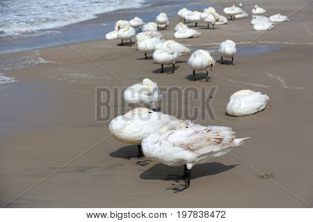 White swans stopped at a beach by the sea and they hide themselves against the strong wind. It is seen on the Baltic Sea shore in Kolobrzeg in Poland