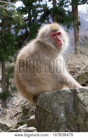 Close up of a sunlit snow monkey sitting on a boulder with trees in the background. Shallow depth of field.