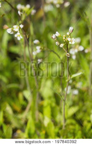 Barbarea Flowers On A Green Bokeh Background