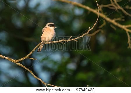 Lesser grey shrike or Lanius minor perches on a branch of a tree