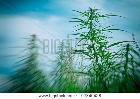 Hemp in natural close-up conditions. Hemp with the effect of explosion