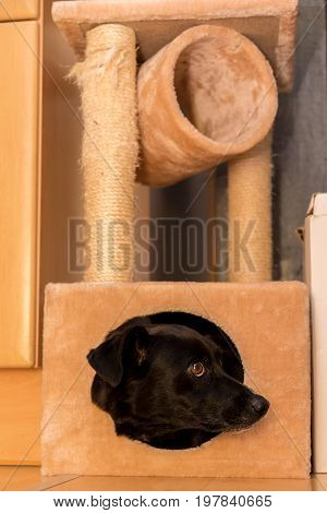 lack dog looking out of the cuddly cavity of a scratching cat for cats poster