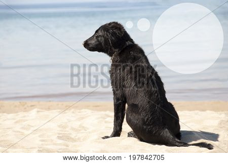 Speech Balloon With Copy Space For Advertisement. Flat Coated Retriever Dog At Sandy Beach. Ocean And Water In The Background