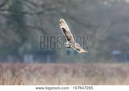 Short-eared Owl (asio Flammeus)  Hunting Banking Flying, In Flight Over Meadow