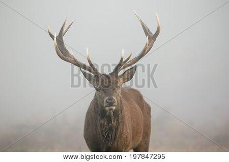 One-eyed Red Deer Stag Portrait (cervus Elaphus) Head On. Misty Morning