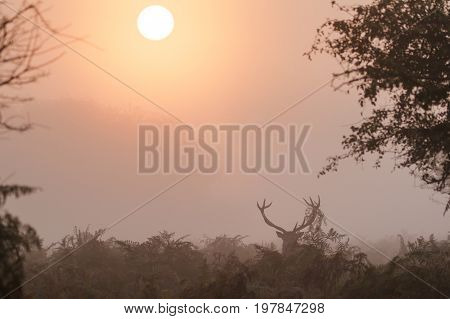 Single Red Deer Stag (cervus Elaphus) Displaying With Bracken On Antlers At Sunrise During The Rutti