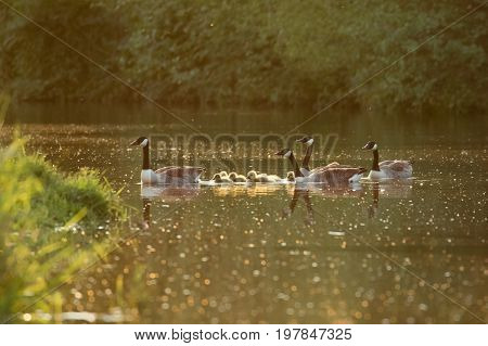 Canada Goose Geese Family (branta Canadensis) With Goslings On A River In Late Evening Light
