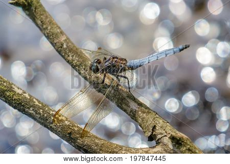 Male Keeled Skimmer (orthetrum Coerulescens) Perched On Branch