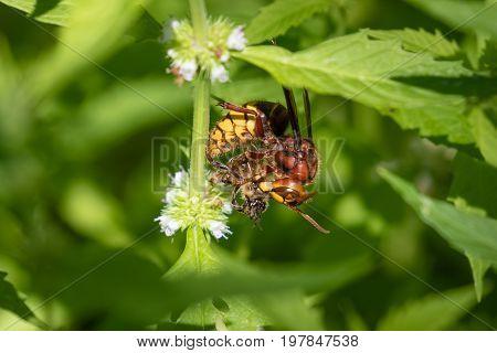 European Hornet (vespa Crabro) Preying On Honey Bee