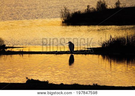 Silhouette Of A Grey Or Gray Heron (ardea Cinerea) In Wetland Wetlands Environment At Sunset