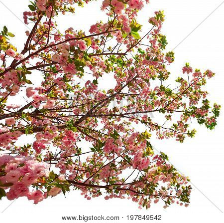 Big cherry blossom tree in japanese park of Japan. Beautiful pink Sakura flower isolated on white background and copy space. Hanami concept, spring, relaxation.