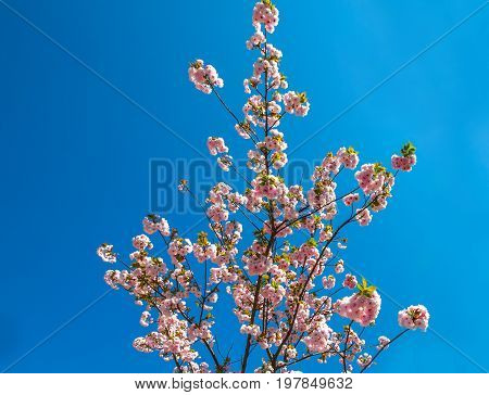 Closeup of cherry blossom in japanese park of Japan. Beautiful pink Sakura flower isolated on blue clear sky background and copy space. Hanami concept, spring, relaxation.