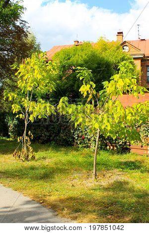 Cigar Tree (catalpa Bignonioides) In The  Park