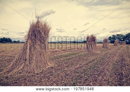 Agricultural landscape. Handmade grain harvest. Sheaves of wheat. Photo in vintage style.