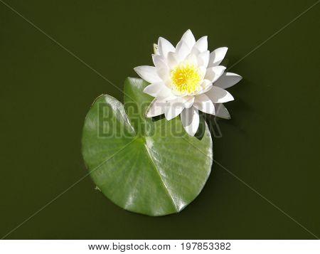 Water lilies. Summer flowers. Very beautiful image.