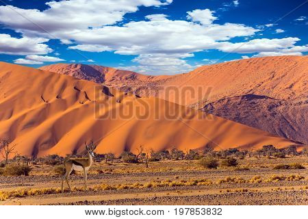 Huge colored desert dunes. Sunset in the Namib desert, the oldest in the world. Antelope Impala standing at the road. The concept of extreme and exotic tourism