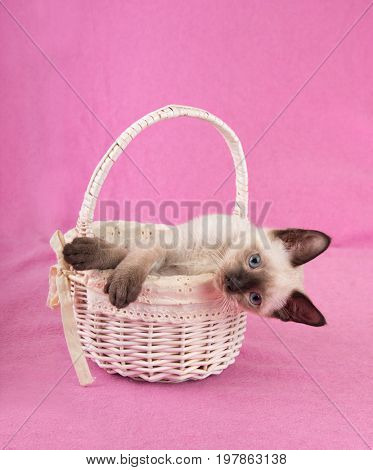 Adorable Siamese kitten in an off white basket, looking sideways at the viewer, with a pink background
