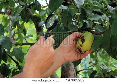 Gardener examines pear fruits with magnifying glass in search of pests and diseases. On fruit there are fungal rot and damages of pear moth. Close up.