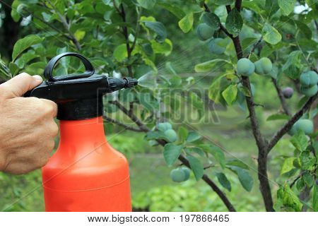 Gardener sprinkles young plum tree from pests and diseases with bottle sprayer. He holds sprayer in his hand. Spray fly on leaves and plum fruit. Close up.