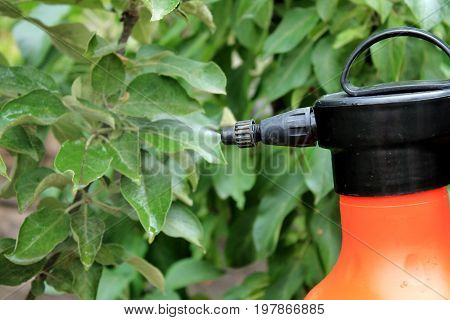 Gardener sprinkles young apple tree from pests and diseases with bottle sprayer. Spray fly on leaves. Close up.