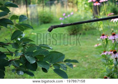 Spraying cherry tree with boom garden hand sprayer against pests and diseases.