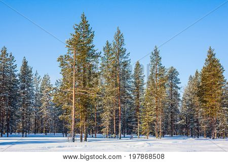 Coniferous forest in Lapland. Winter fairy tale in a sunny frosty day. The concept of active and extreme tourism