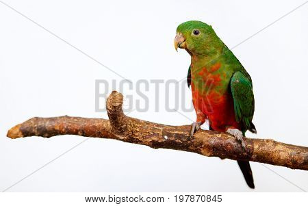 Green parrot . Isolated studio shoot