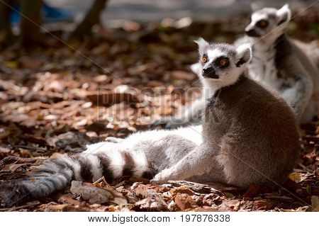 Ring-tailed Lemur resting in a forest. Animal photographed in captivity. Valencia, Spain.