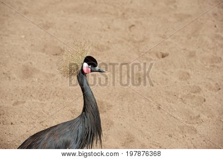Grey crowned crane walking. Animal photographed in captivity. Valencia, Spain.