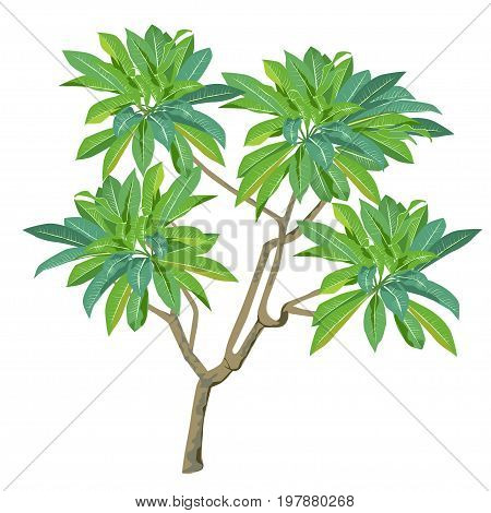 Plant of plumeria (Plumeria) without flowers the color vector image on a white background