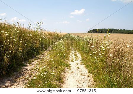 A road among fields of rye in the summer