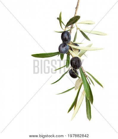 Olive branch with black olives and  leaves  isolated on white background.