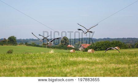 Flock of storks on the field of haystacks in summer