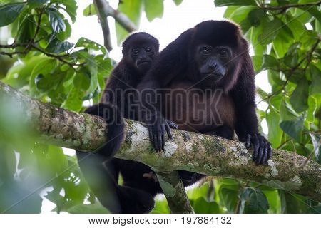 Baby Howler Monkey With His Mother