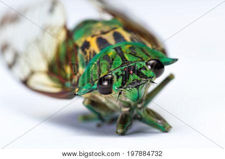 Cicada - Neotibicen Linnei