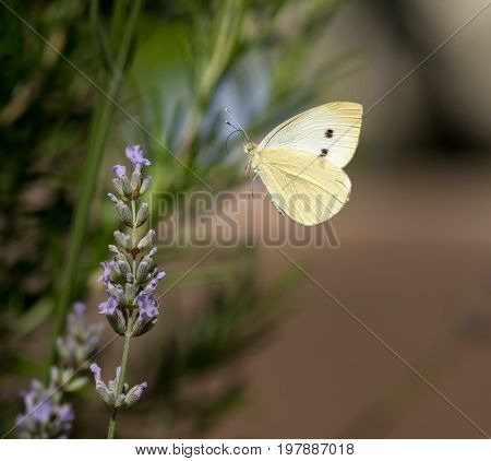 Small cabbage white butterfly flying to a flower