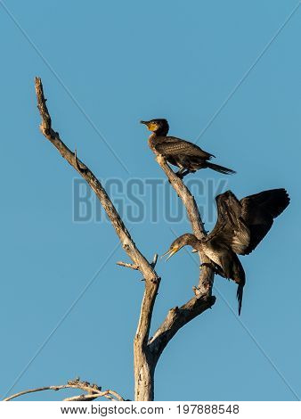 Two juvenile cormorants on a tree one arriving