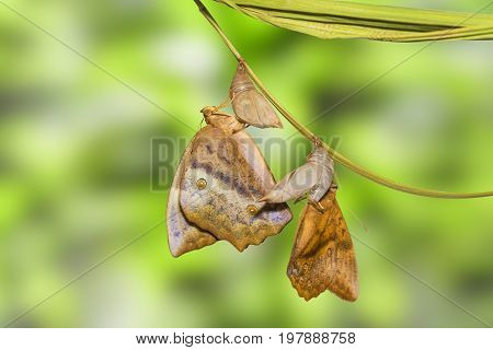 Emerging Of Common Duffer Butterfly ( Discophota Sondaica Boisduval ) From Chrysalis And Mature Pupa