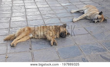 Street dogs resting on old street in Cuzco, Peru