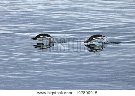 Gentoo penguin swimming and jumping in water mirrored, Antarctic Peninsula, Antarctica