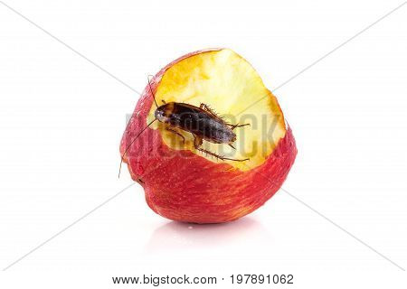 cockroach sitting and eating on a red apple (focus on cockroach). Image isolated on white studio background.
