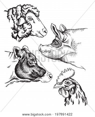 Black and white sketches of four farm animal's faces: sheep chicken pig and cow. Vector portraits.
