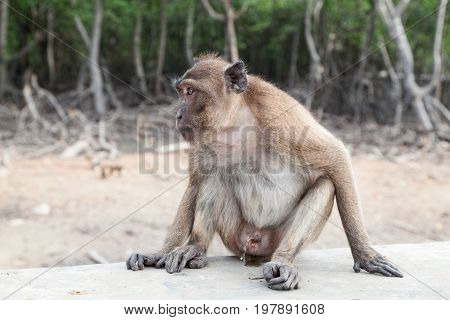 Monkey sitting urinate in mangrove forest .