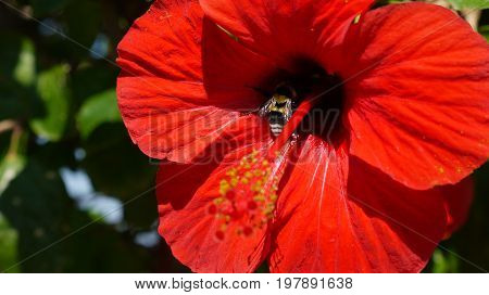 Close-up of a big red hibiscus flower with a bee inside
