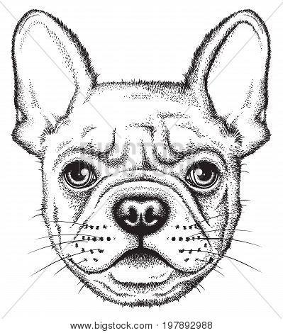 Portrait sketch of a French Bulldog or