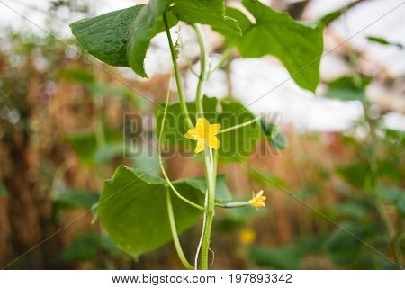 Seedlings Cucumbers. The Cultivation Of Cucumbers In Greenhouses. Seedlings In The Greenhouse. Growi