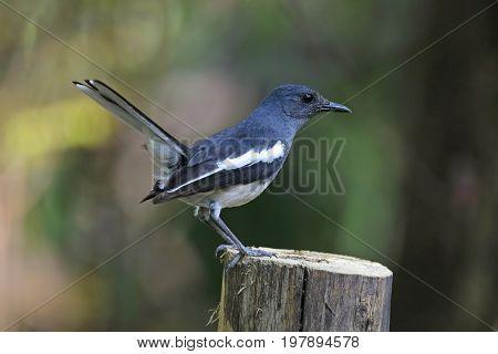 Oriental Magpie Robin Copsychus Saularis Female Birds Of Thailand