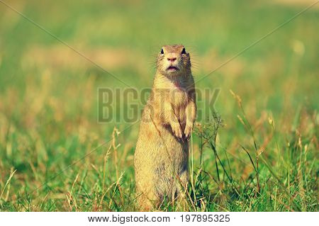 Ground Squirrel Hold Some Corns In Front Legs And Feeding. Small Animal Sitting Alone In  Grass.